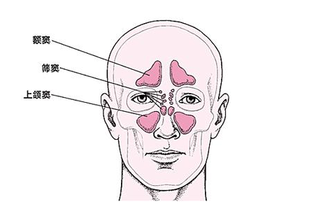 鼻窦分布图